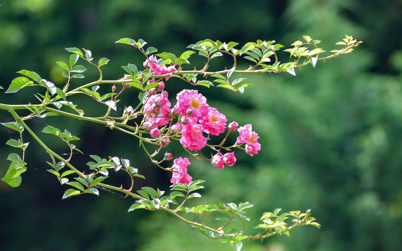 Arroser les roses régulièrement